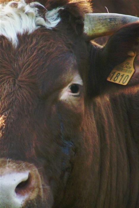 half cow