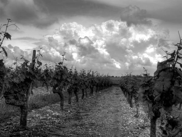 Layon's Vineyard