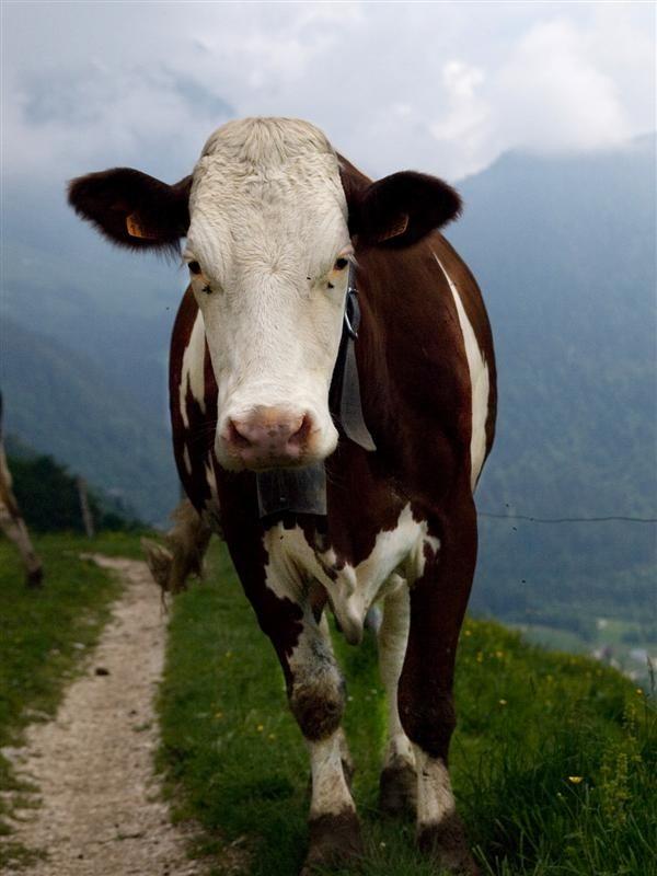 A cow !