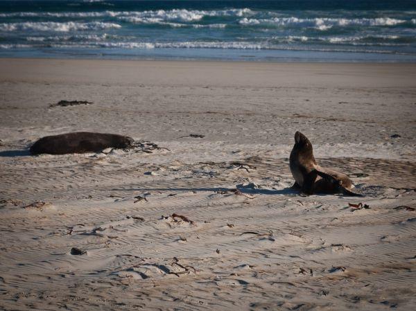 Fur seal and mum