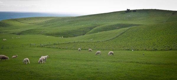 Sheep land