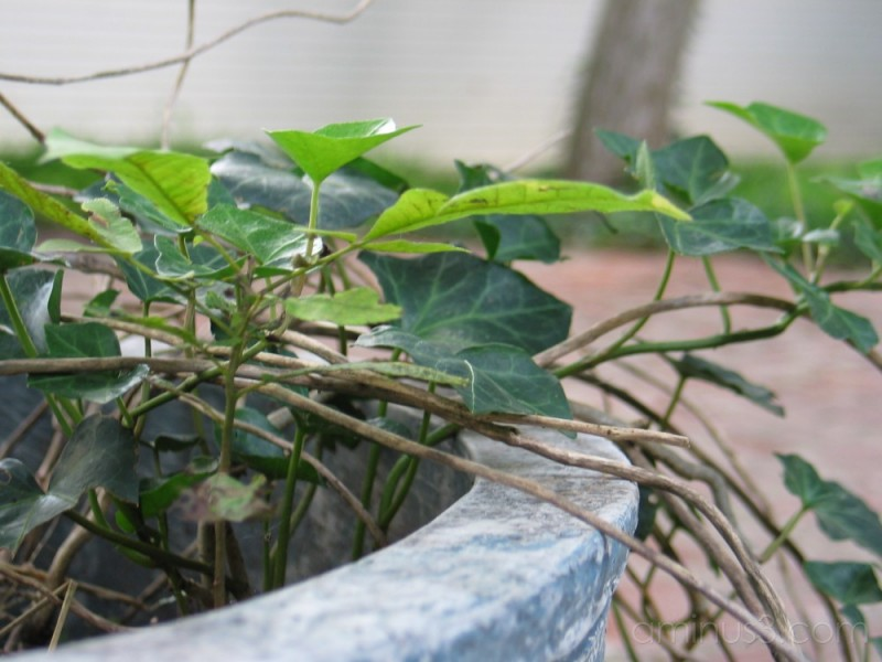 living ivy in a stone pot