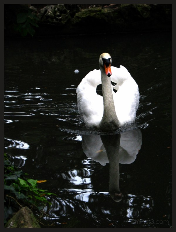 swan in the lake of teh miramare castle