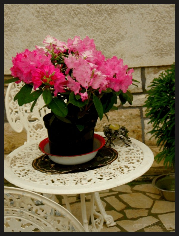 pink flowers on a white table in Pola, Istria