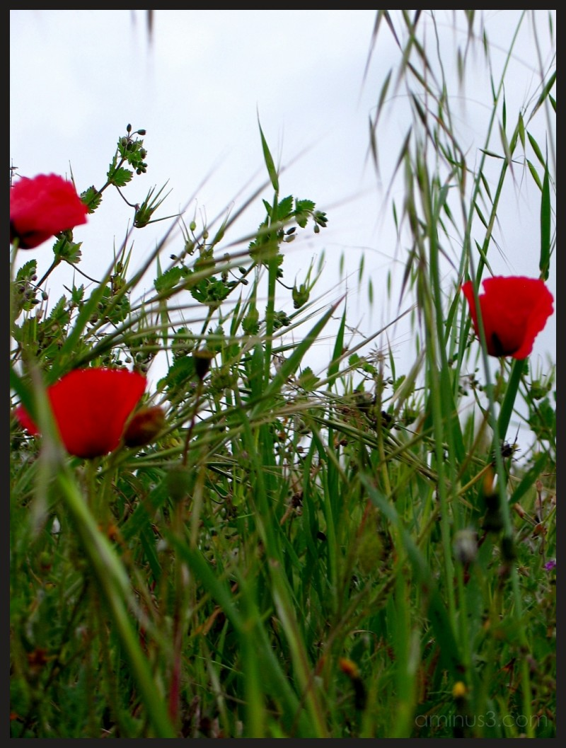 red poppies blowing in the green gras.Pola, Istria