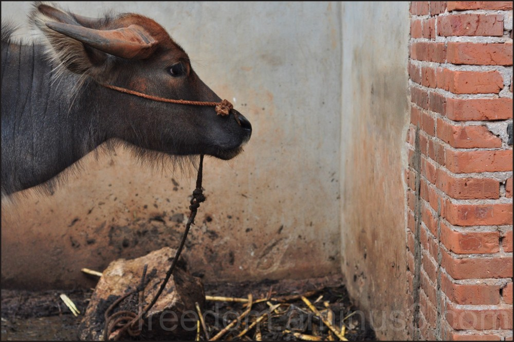 Portrait of a Water Buffalo