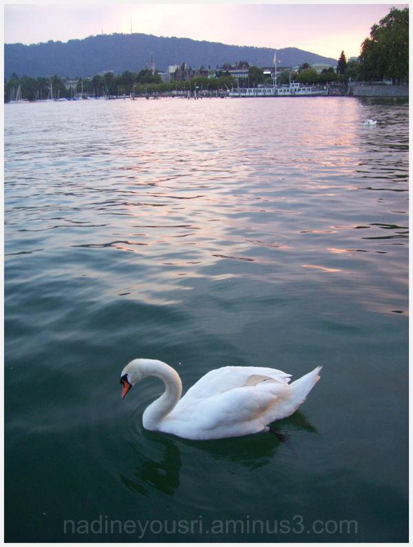 Zurich swan