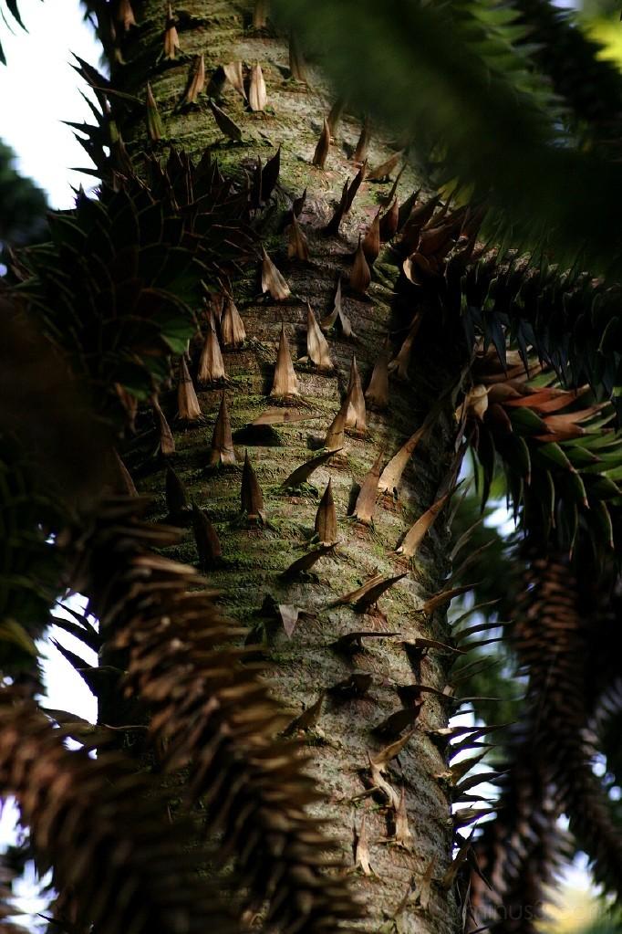 Araucaria araucana (stem)