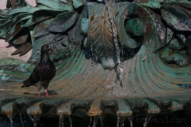 Pigeon having a shower