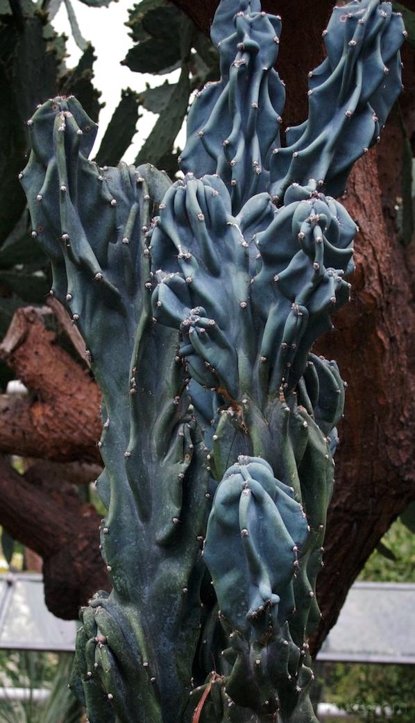 Cereus hildmannianus 'Monstrosus'