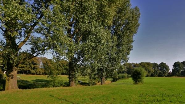 Cottonwood, Meadow, Cattle, a Creek...