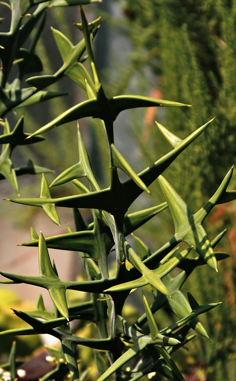 Colletia cruciata