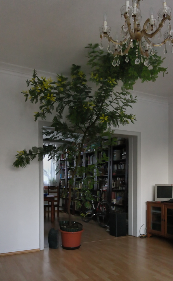 Acacia dealbata @ home