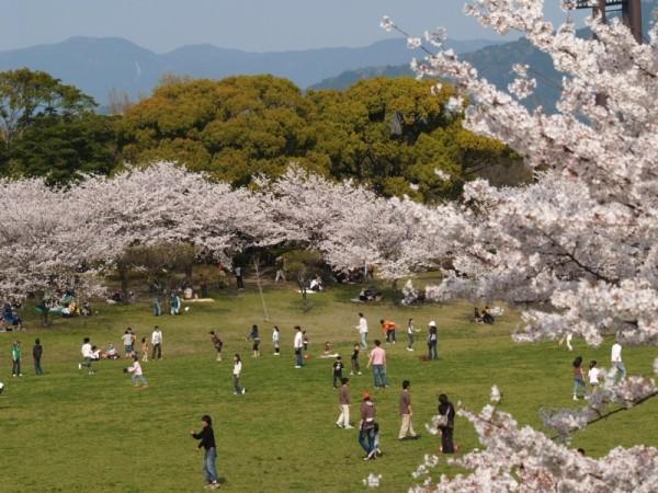 sakura,kasuga park