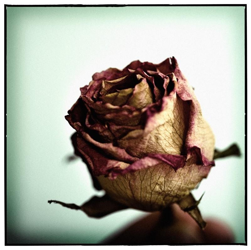 La rosa de la vida...