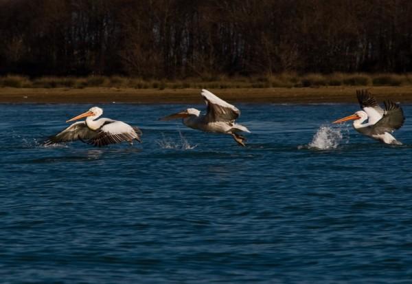 pelican, miankaaleh, Iran