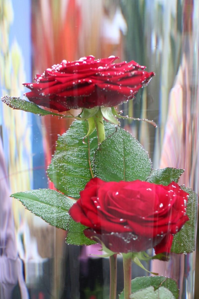 Rosa dins d'aigua