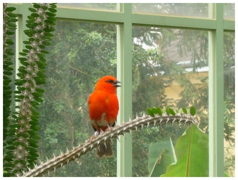 El petit ocell vermell de Viena