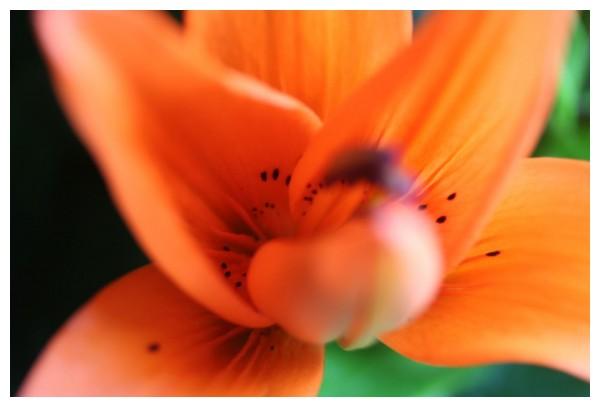 Taronja floral