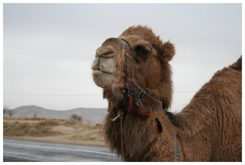 Retrat de camell
