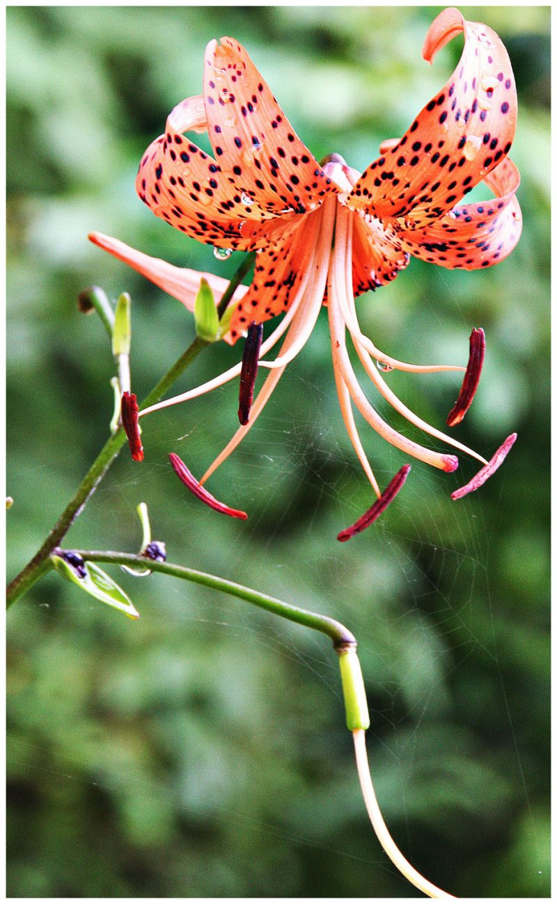 Flor i teranyina
