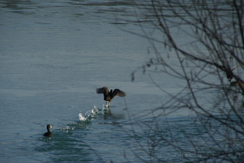 Take-off of a duck
