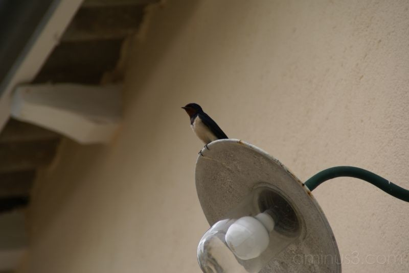 Swallow alighted on a lamp