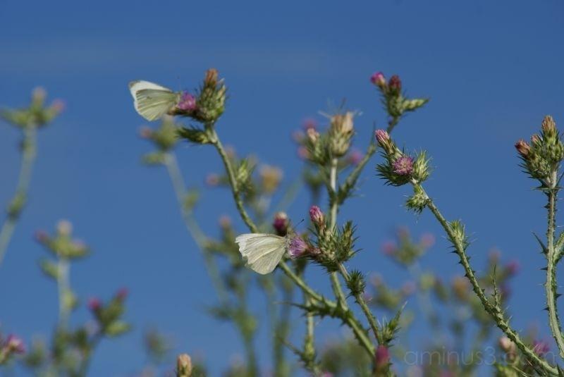 Papillons blancs