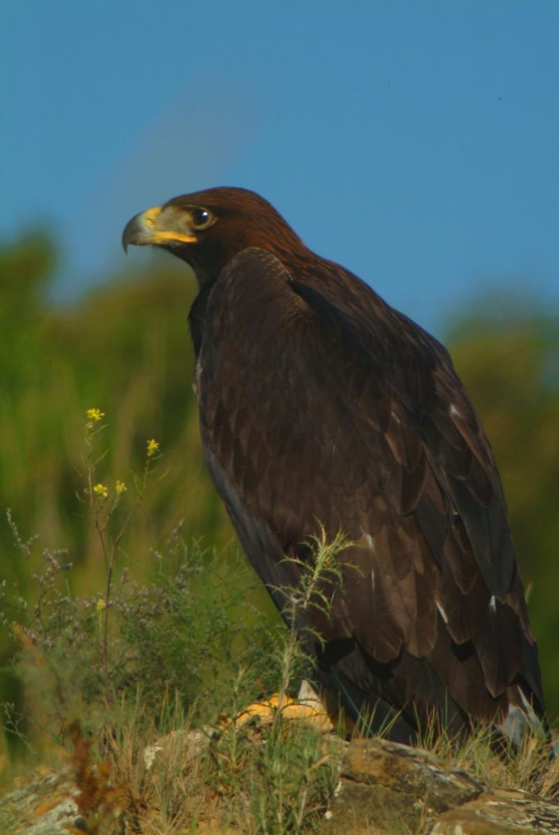 Near Estella,Golden Eagle