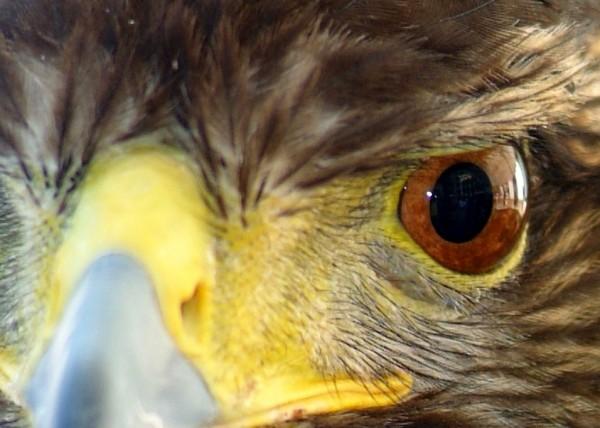 Harri´s Falcon