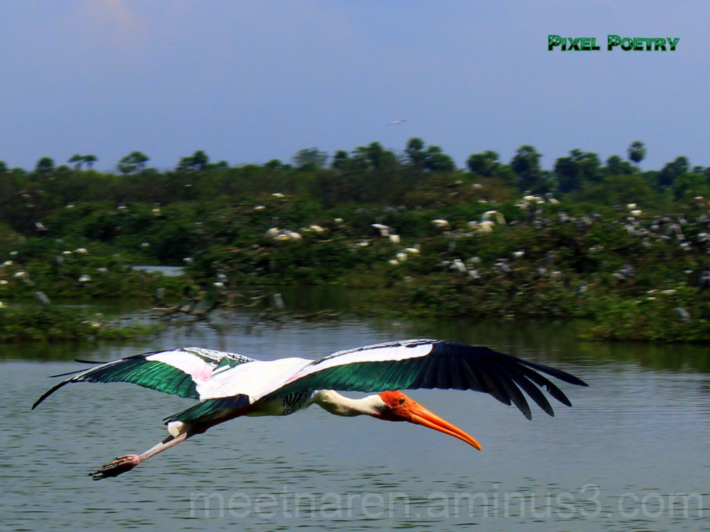 The painted stork in flight