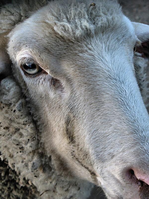 Sheep's portrait