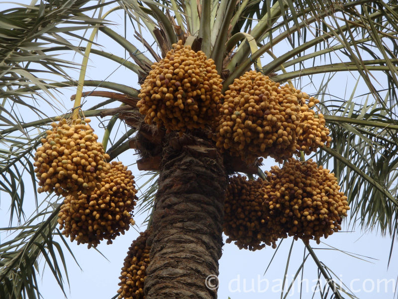 Palm Dates