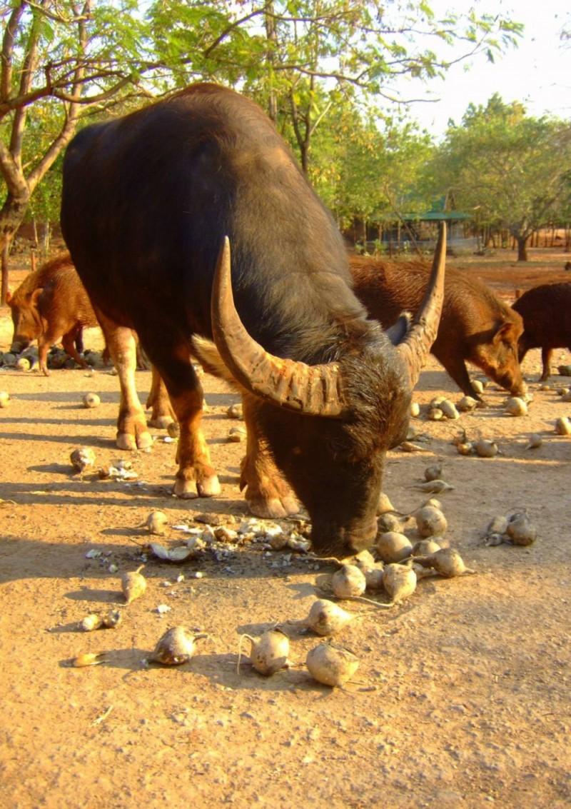 Hungry Buffalo