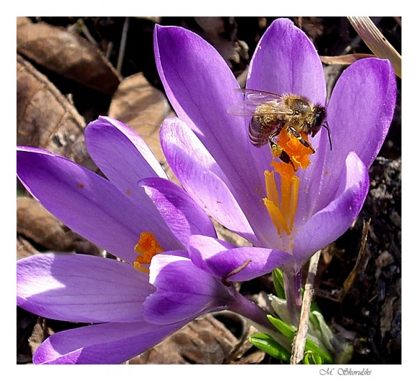 Crocus with a bee