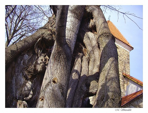 600-year-old linden tree