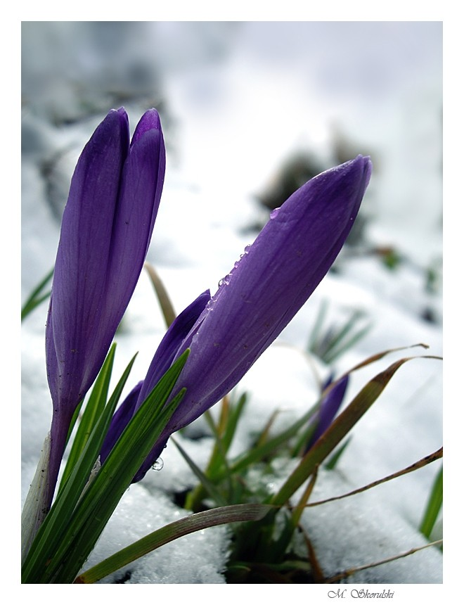 Crocuses with snow
