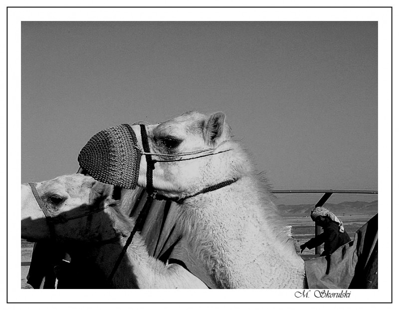 Camel with mouth cover