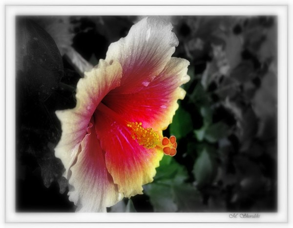 Hyper hibiscus
