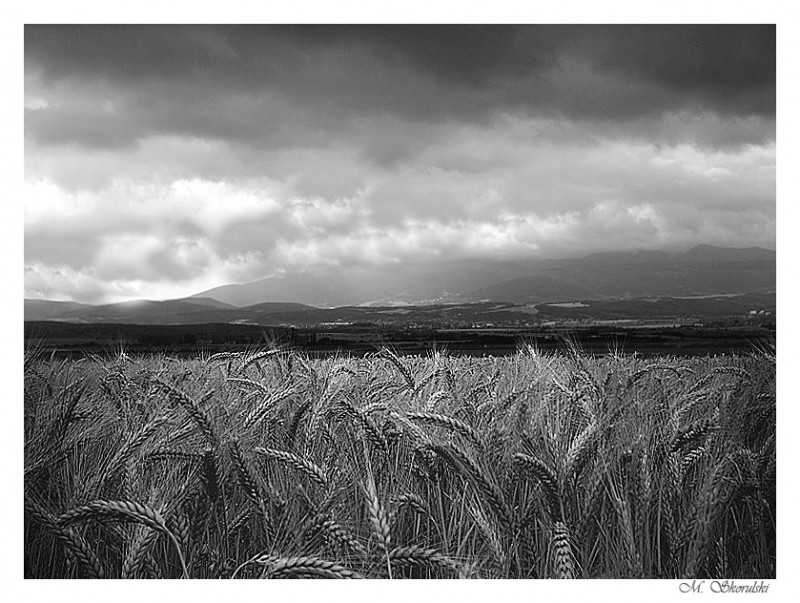 Wheat after a downpour II