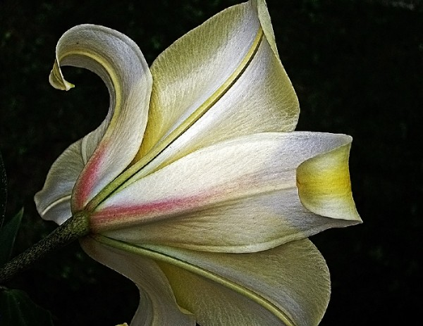 Love them lilies