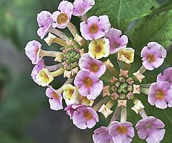 Bouquet of Lantana