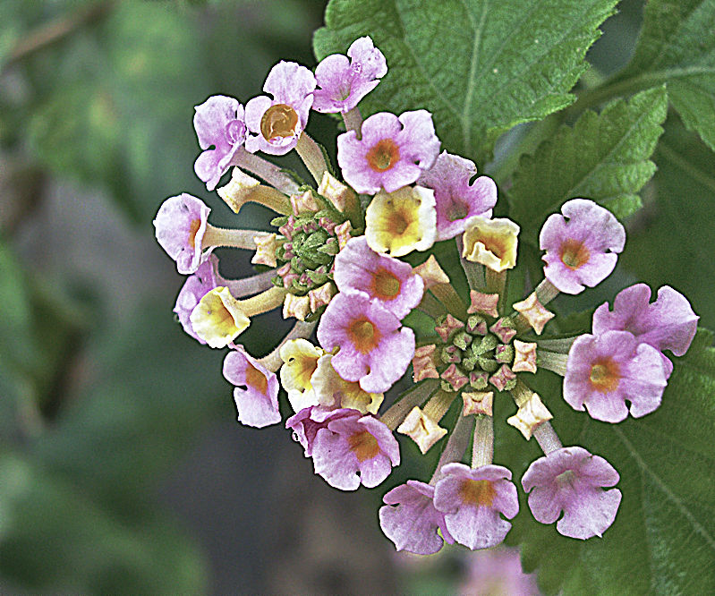 Bouquet of Lantana
