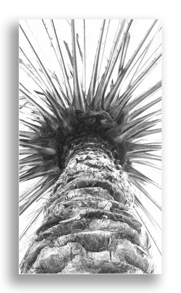 Arabian Palm