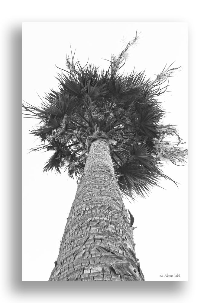 Arabian Palm 2