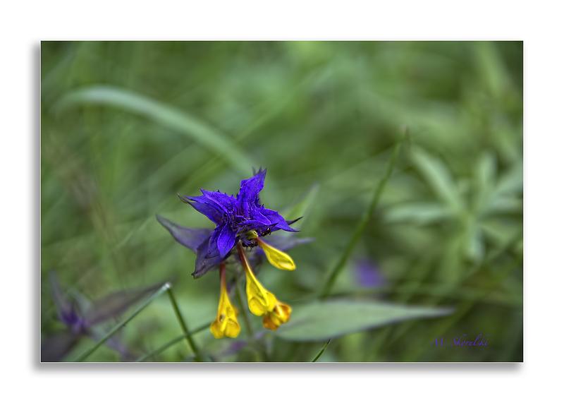 Wild Flower in the Wind