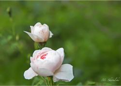 Queen of Sweden Roses