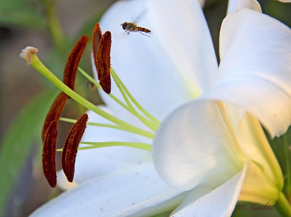 Lyrical Lily