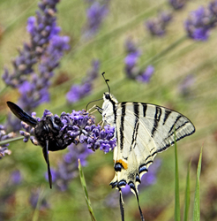 Loose on lavender
