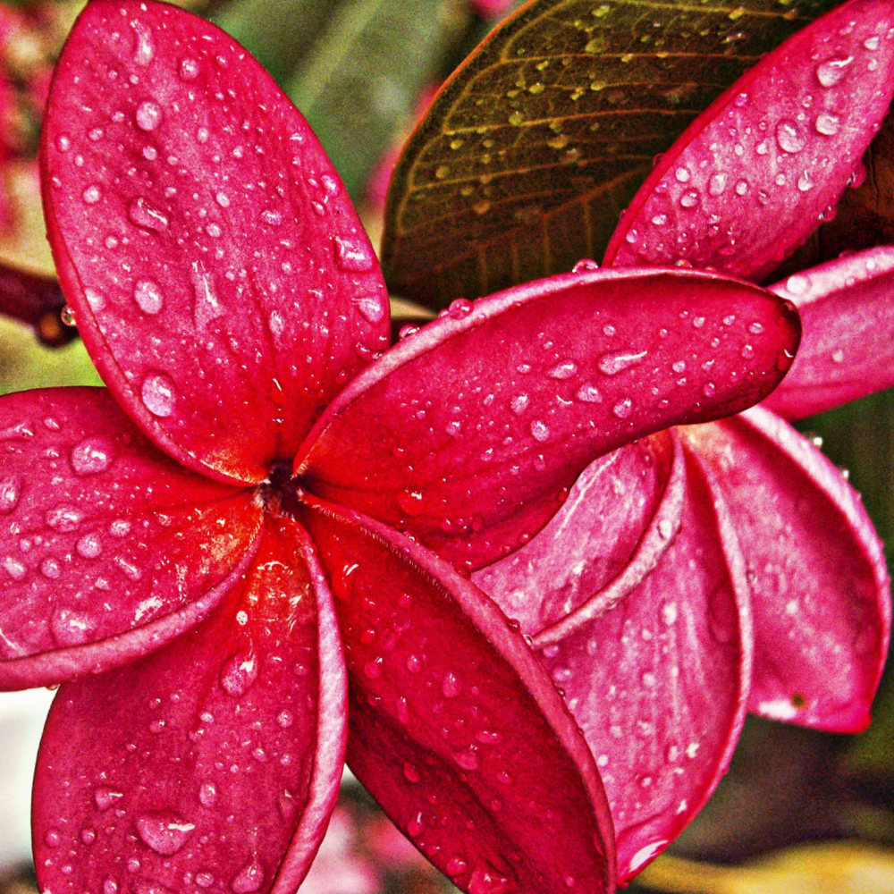 Frangipani after Rain